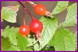 Шиповник - кладовая витамина с