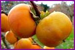 Хурма - главный фрукт сезона