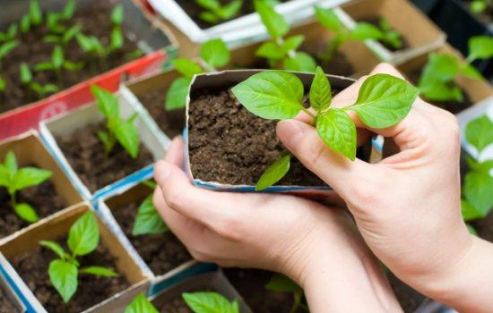 Полезные советы по выращиванию рассады перцев в домашних условиях. Как вырастить рассаду перца дома, чтобы получить богатый урожай