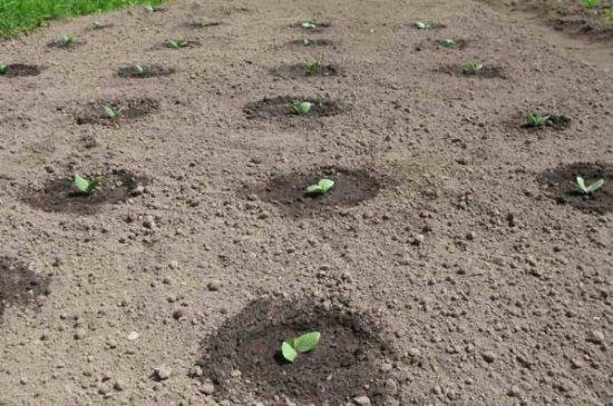 Посадка кабачков на участке: нужно ли выращивать рассаду? Посев семян кабачков, выращивание рассады, уход за ней, пересадка кабачков
