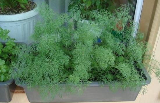 Выращиваем укроп: посадка в открытом грунте, теплице и на подоконнике. Как правильно сеять укроп на протяжении всего года